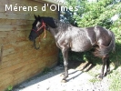 GALANT D'OLMES: HONGRE DRESSE SELLE